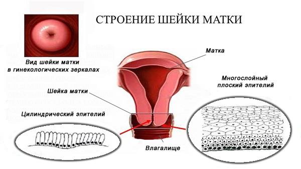 Строение шейки матки