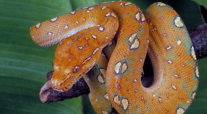 к чему снится красная змея