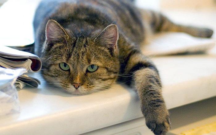 ложная сукотность у кошки