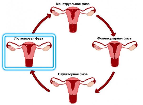 Лютеиновая фаза менструального цикла нормализуется под действием дидрогестерона