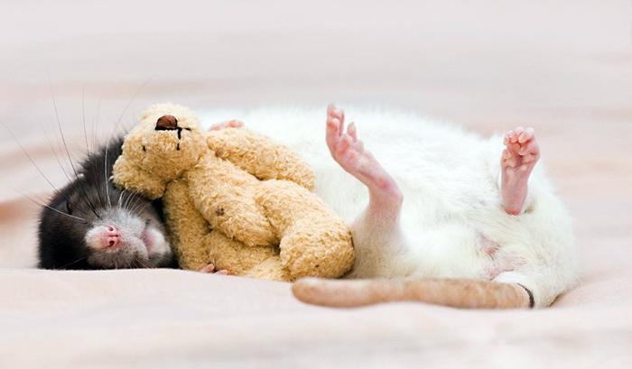 что если снится крыса